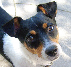 dog breed, animal, dog, brazilian terrier, pet, mammal, vulnerable native breeds, miniature fox terrier, toy fox terrier, rat terrier, russell terrier,