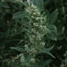 Mugwort - Photo (c) stonebird, some rights reserved (CC BY-SA)