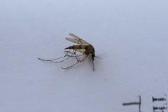 arthropod, animal, mosquito, wing, invertebrate, macro photography, fauna, close-up, pest,