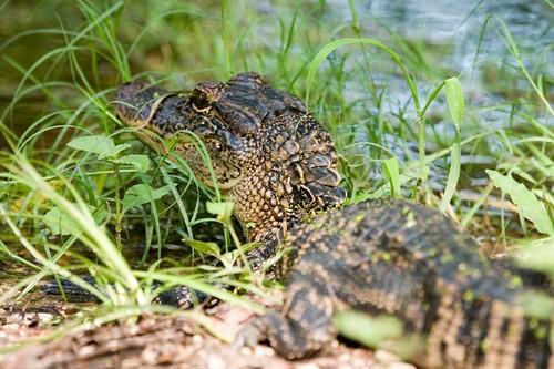 鱷魚CRW_6285