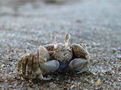 dungeness crab(0.0), food(0.0), crab(1.0), animal(1.0), ocypodidae(1.0), crustacean(1.0), seafood(1.0), marine biology(1.0), invertebrate(1.0), macro photography(1.0), fauna(1.0), close-up(1.0), wildlife(1.0),