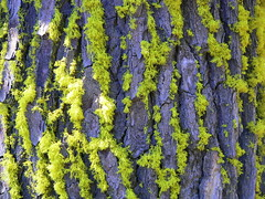 Day-glo moss on a tree at Crater Lake