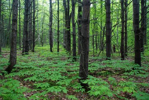 trees maine d80