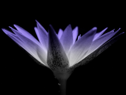 Blue lotus- Processed image