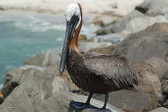 suliformes(0.0), booby(0.0), cormorant(0.0), animal(1.0), pelican(1.0), fauna(1.0), beak(1.0), bird(1.0), wildlife(1.0),
