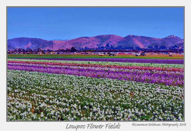 Lompoc Flower Fields | Flickr - Photo Sharing!
