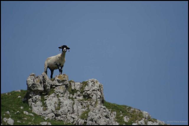 Evil sheep - photo#15