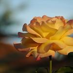 Yellow Rose - Kakheti, Georgia
