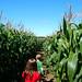 Small photo of Singleton Maize Maze