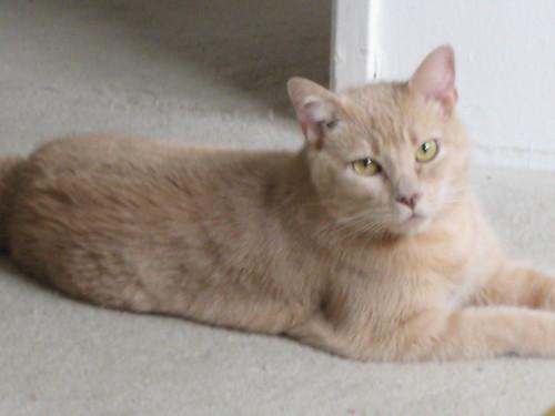 buff, cat, feline, animal, indoor, pet, mac… IMG_0146.JPG