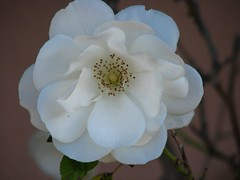 blossom(0.0), gardenia(0.0), camellia japonica(0.0), camellia sasanqua(1.0), flower(1.0), plant(1.0), flora(1.0), theaceae(1.0), petal(1.0),
