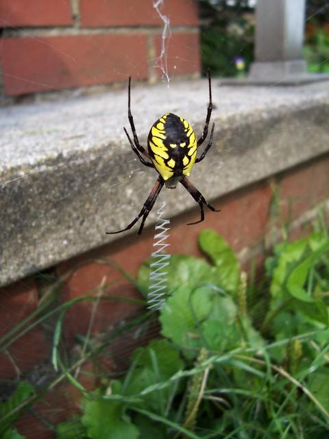 Black And Yellow Garden Spider Argiope Flickr Photo Sharing