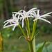 Crinum americanum Flower