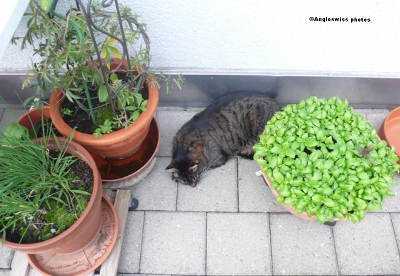 Tabby sleeping between the plants