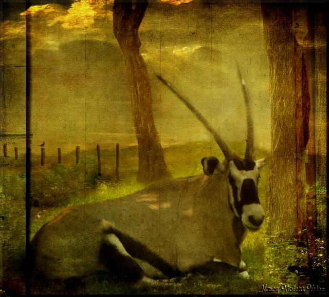 Gemsbok (Oryx gazella) in texture