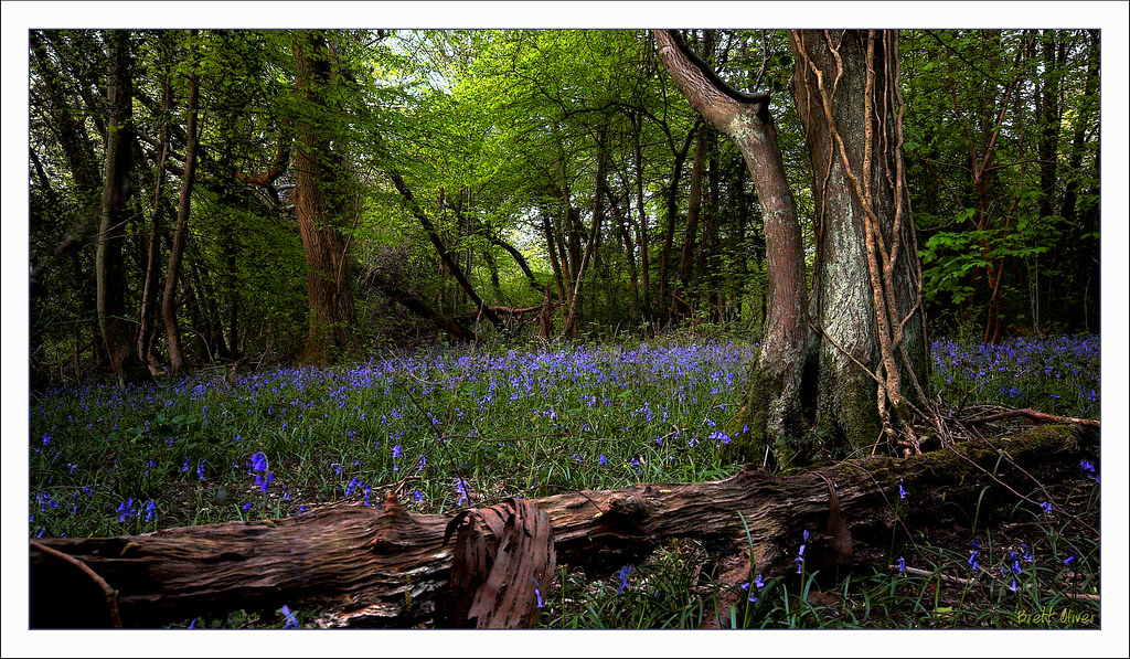 Bluebell Wood IMG_0589-01 Bluebells in the woods Kenley.