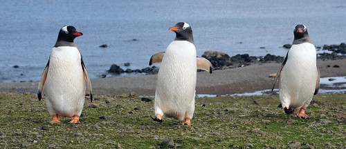 Gentoo_Three_Step by Census of Marine Life E&O