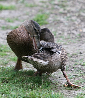 Duck wrestling - The series