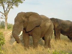 animal, indian elephant, elephant, elephants and mammoths, african elephant, herd, fauna, savanna, grassland, safari, wildlife,