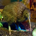 North Island Brown Kiwi - Photo (c) The.Rohit, some rights reserved (CC BY-NC)