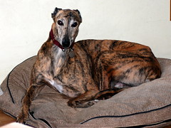 dog breed, animal, hound, dog, whippet, galgo espaã±ol, pet, mammal, greyhound,