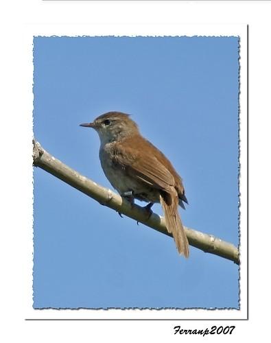 ruiseñor 02 - rossinyol - rufous nightingale - luscinia megarhynchos