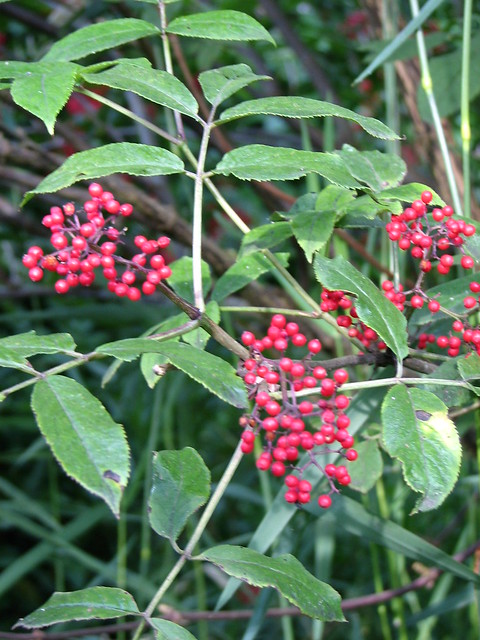 Landscaping Shrubs With Red Berries : Red berry shrubs flickr photo sharing
