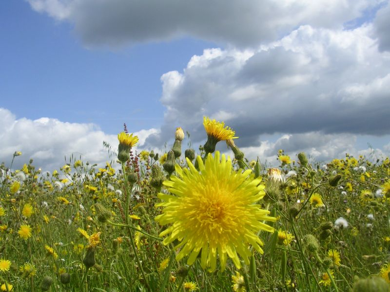 Sow thistle Stonegate circular