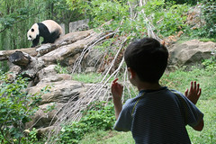 connecting with giant pandas