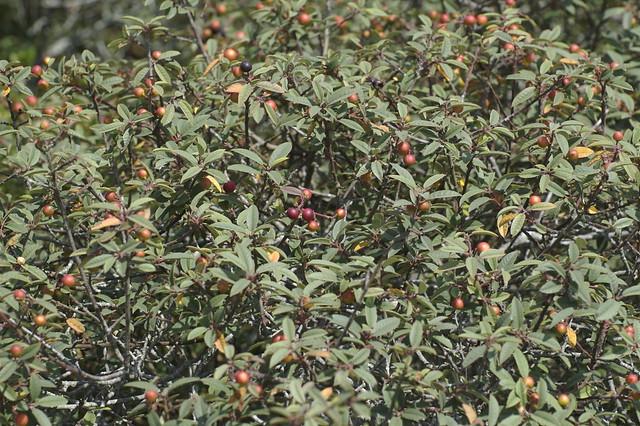 Header of coffeeberry