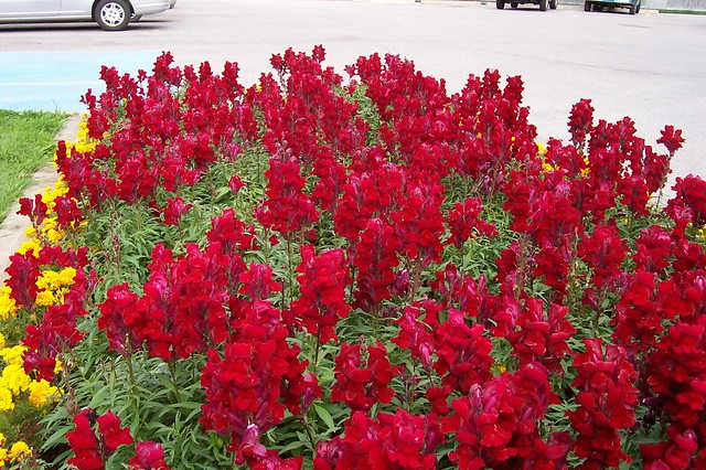 Red snapdragons | Flickr - Photo Sharing!