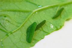 菜蟲( k.l.m. 敏攝影)