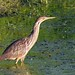 American Bittern - Photo (c) Dan Dzurisin, some rights reserved (CC BY-NC-ND)