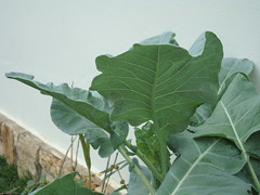 annual plant, leaf, plant, green, collard greens, plant stem,