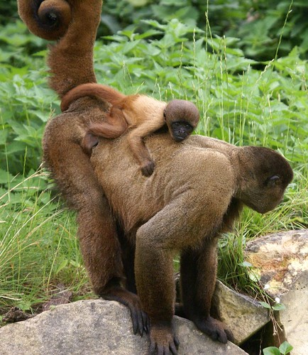 Baby Woollymonkey