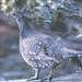 Blue Grouse - Photo (c) Jerry Oldenettel, some rights reserved (CC BY-NC-SA)