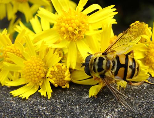 flower yellow schweiz switzerland wasp suisse suiza gruyères colourartaward