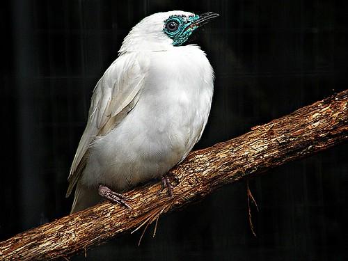 pájaro campana macho