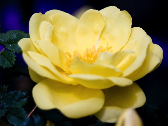 yellow rose of texas joyce has a huge yellow rose of. Black Bedroom Furniture Sets. Home Design Ideas