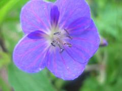 annual plant, geranium, flower, purple, plant, macro photography, wildflower, flora, petal,
