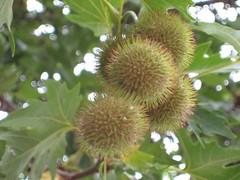 rambutan(0.0), flower(0.0), plant(0.0), produce(0.0), artocarpus(0.0), food(0.0), evergreen(1.0), tree(1.0), flora(1.0), fruit(1.0), durian(1.0),