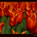 dutch-tulips-2-orange-close