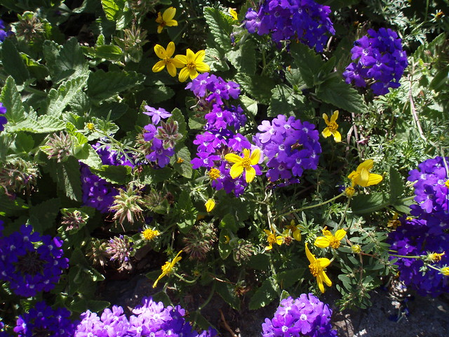 Blue and yellow flowers a pretty color combination seen for Blue and yellow paint combinations