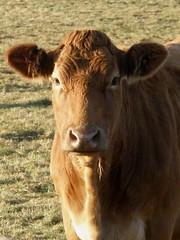 Bovine Portrait 1