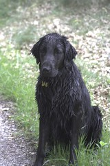 cesky fousek(0.0), boykin spaniel(0.0), stabyhoun(0.0), field spaniel(0.0), russian spaniel(0.0), blue picardy spaniel(0.0), german wirehaired pointer(0.0), german spaniel(0.0), dog breed(1.0), animal(1.0), german longhaired pointer(1.0), dog(1.0), curly coated retriever(1.0), pet(1.0), small mã¼nsterlã¤nder(1.0), picardy spaniel(1.0), retriever(1.0), flat-coated retriever(1.0), carnivoran(1.0),