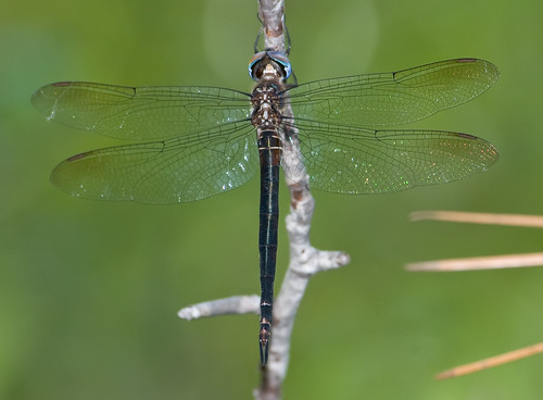 vacation female nc lifelist dragonfly insects august emerald topsailisland odonata anisoptera corduliidae ntopsailbeach somatochlora topsail2007 finelinedemerald somatochlorafilosa