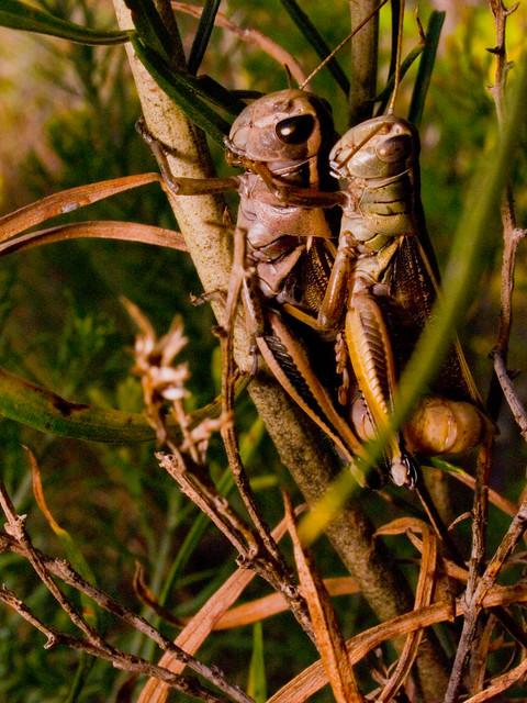 Coitus interruptus grasshopperus flickr photo sharing for Coito interruptus