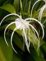 epiphyllum(0.0), shrub(1.0), hymenocallis(1.0), flower(1.0), leaf(1.0), hymenocallis littoralis(1.0), plant(1.0), flora(1.0),