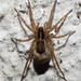 Araña preñada. Pardosa sp. by IES-MGB