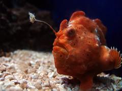 Krötenfisch